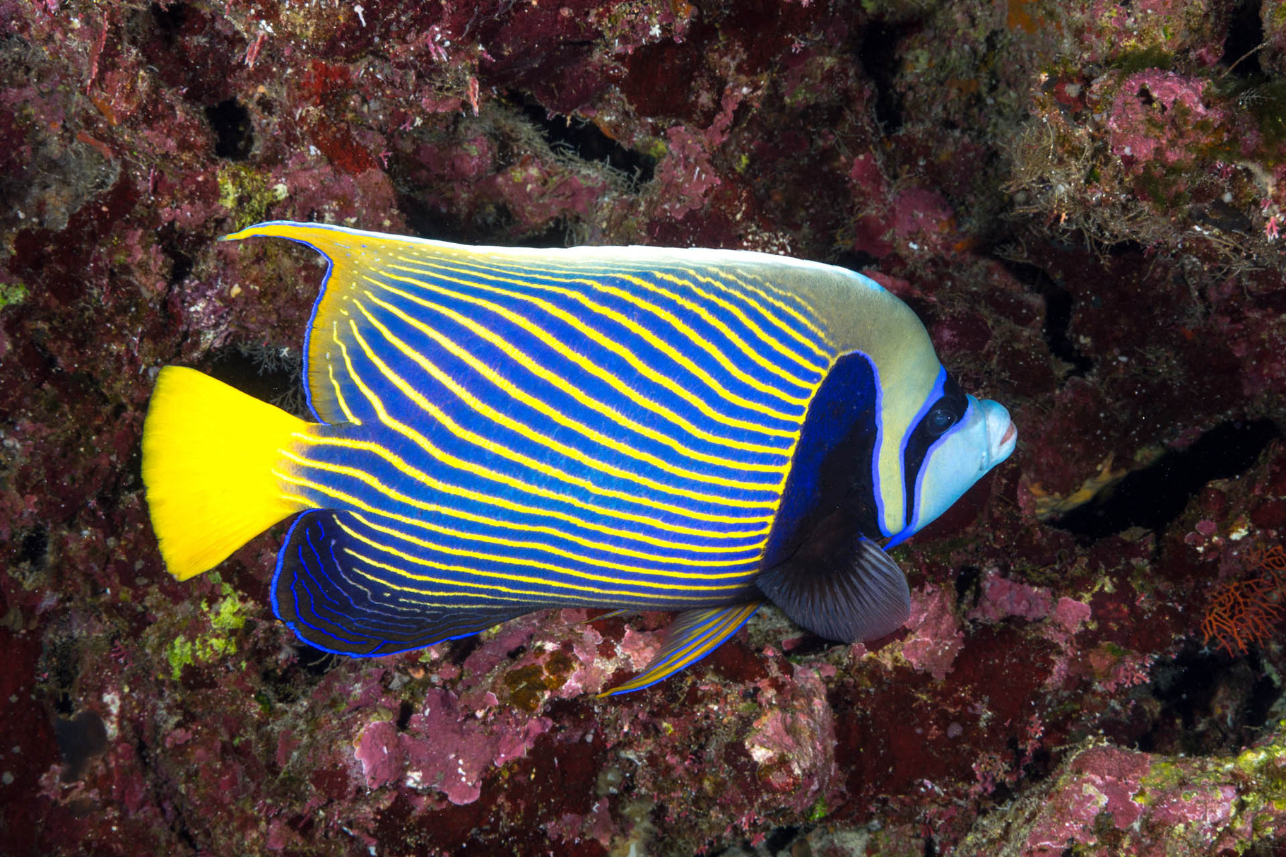 Emperor angelfish (Pomacanthus imperator), Lifou