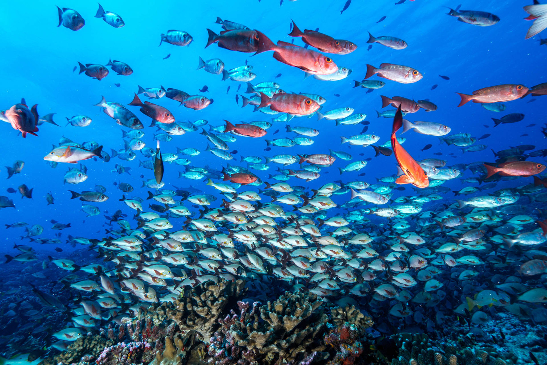 Schooling fishes, North Pass, Fakarava
