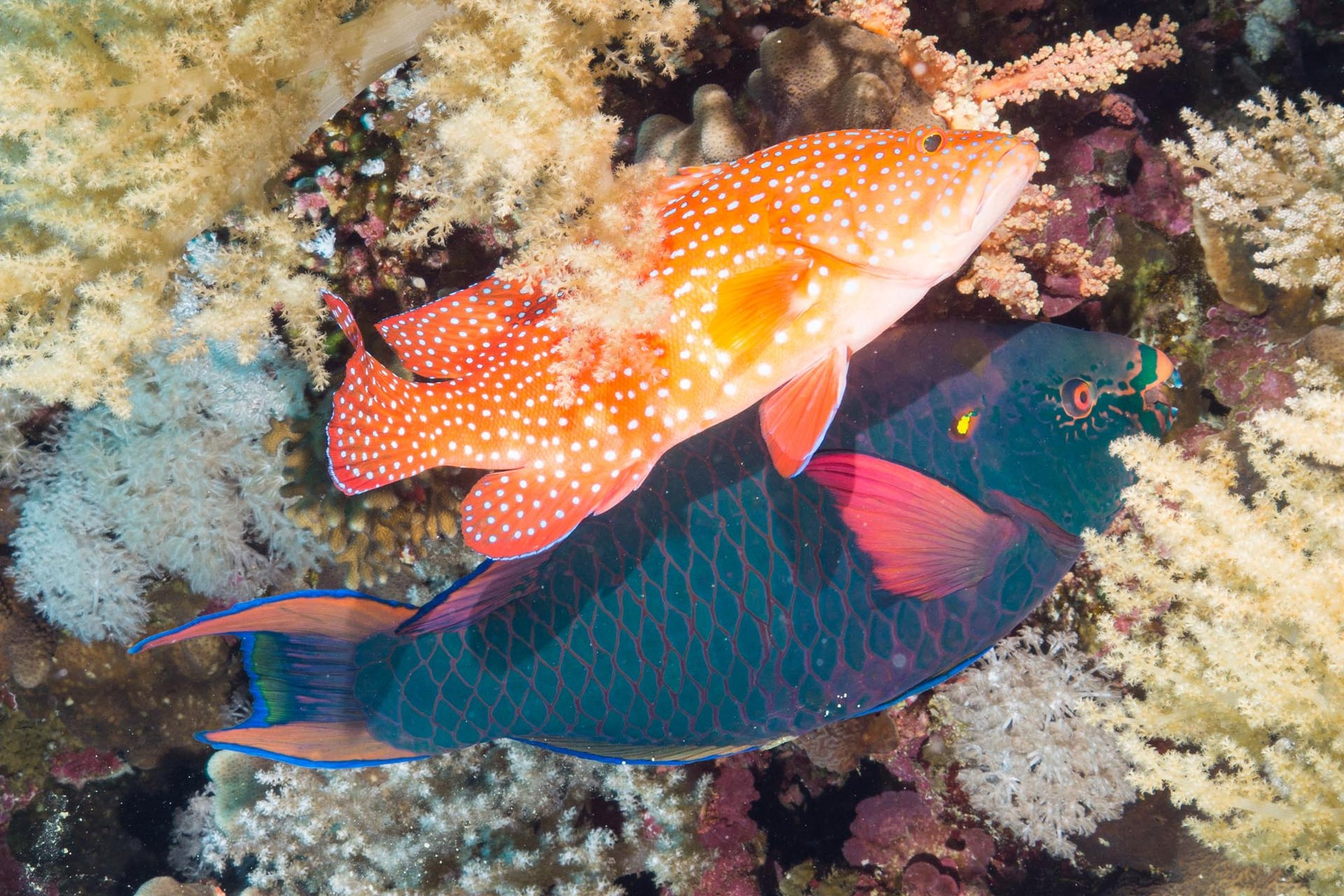 Grouper and Parrotfish