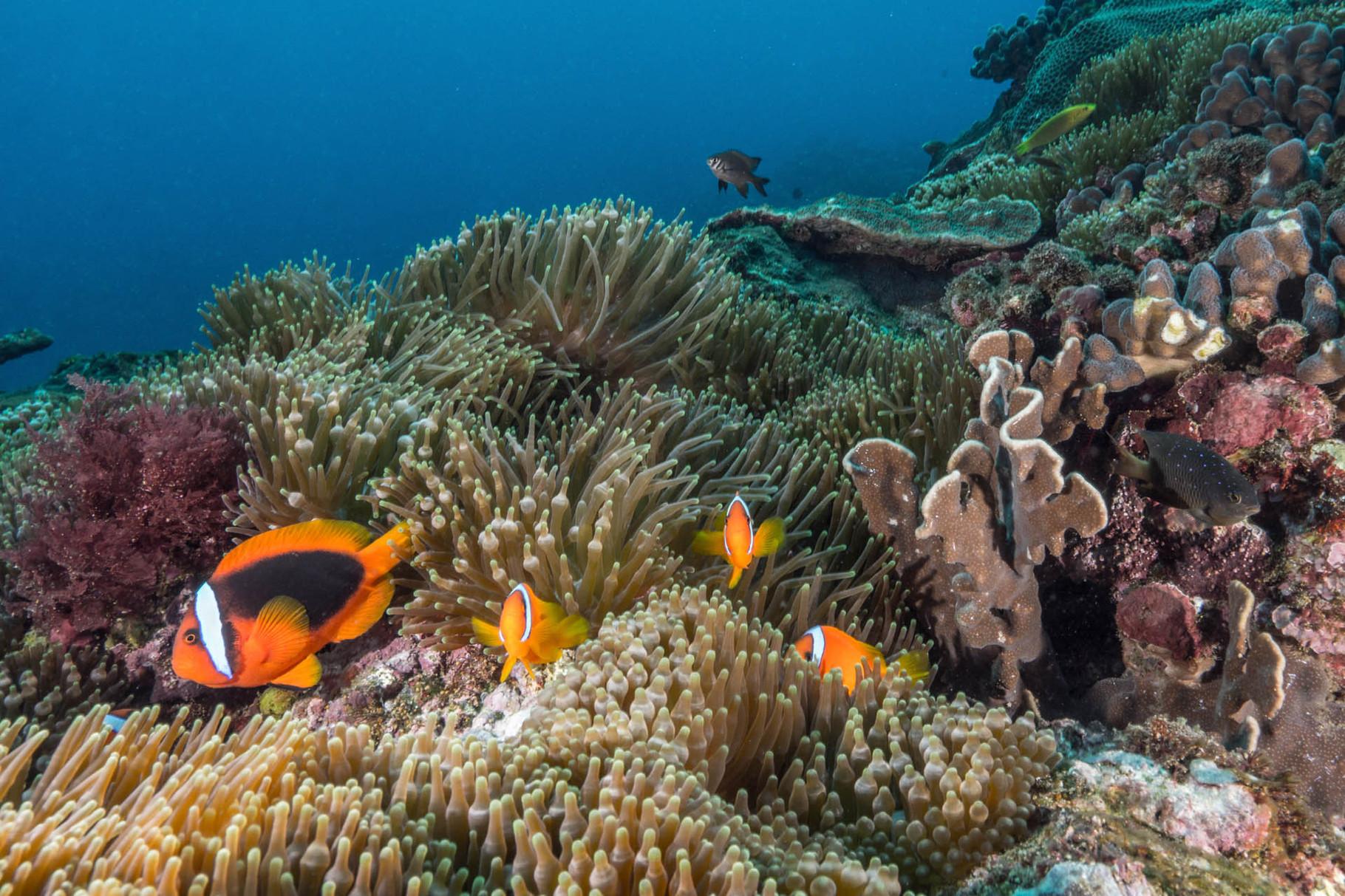 Tomato anemonefishes (Amphiprion frenatus), Green Island
