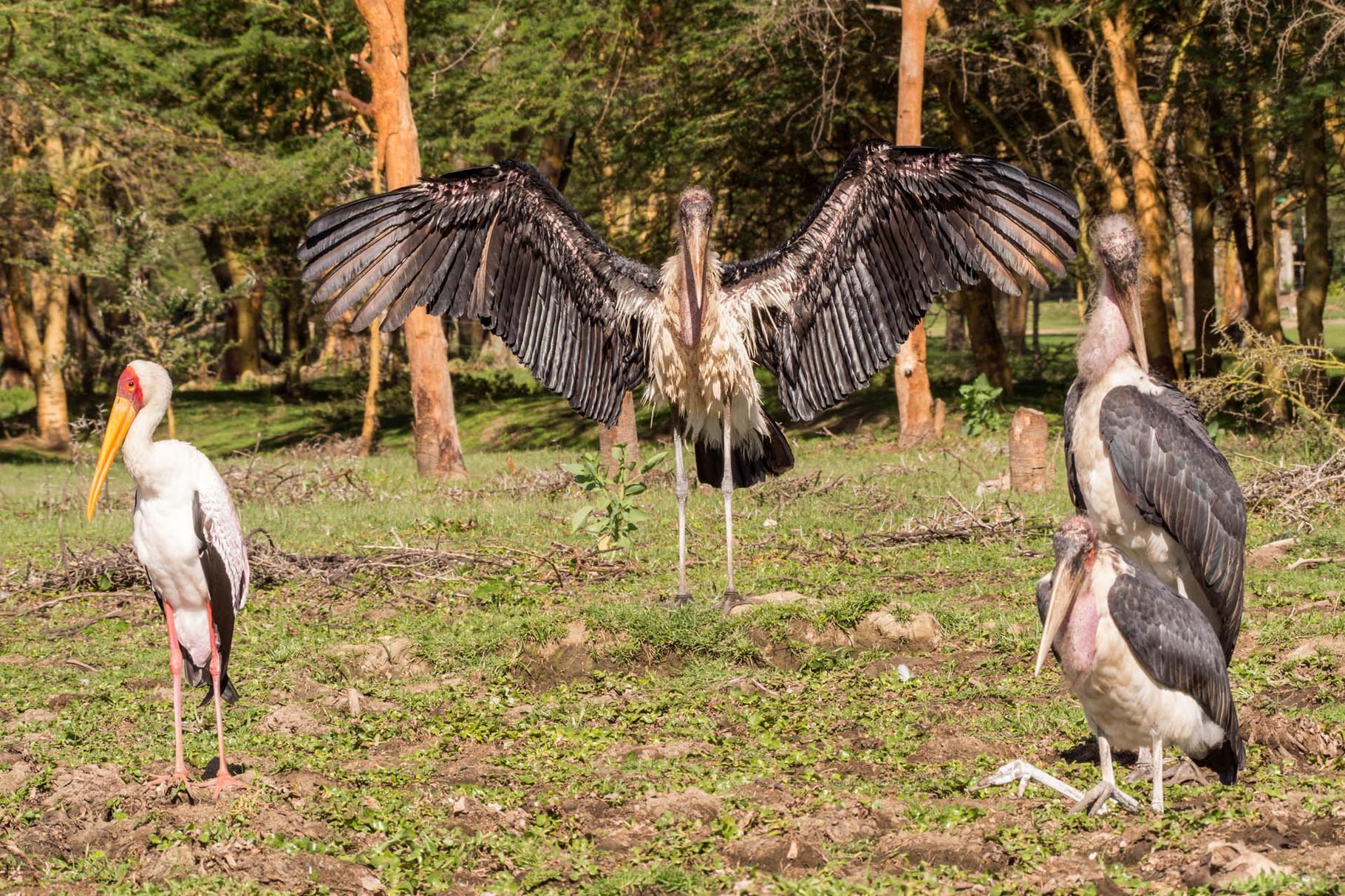 Storks [Lake Navaisha, Kenya, 2015]