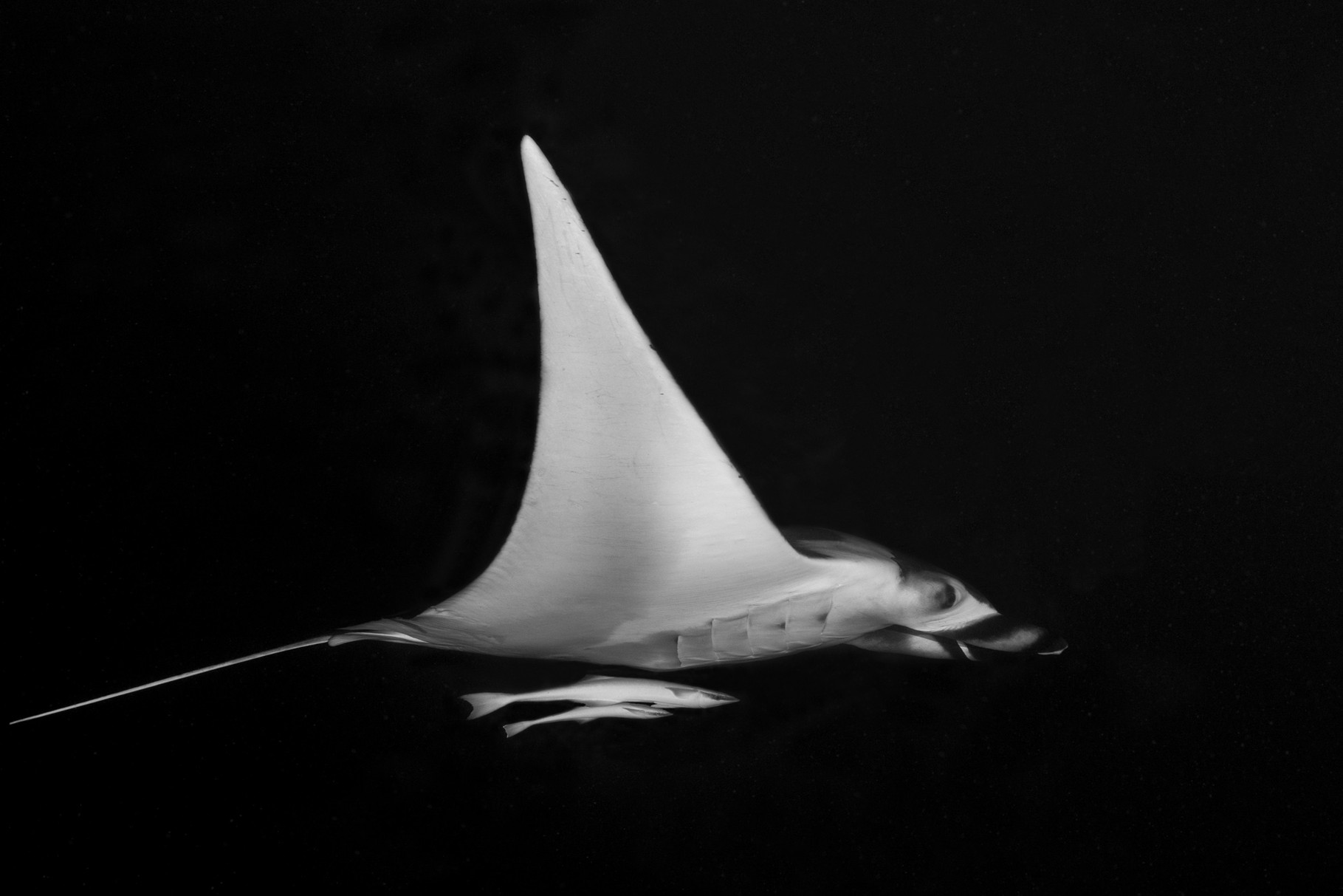 Manta Ray with Remoras