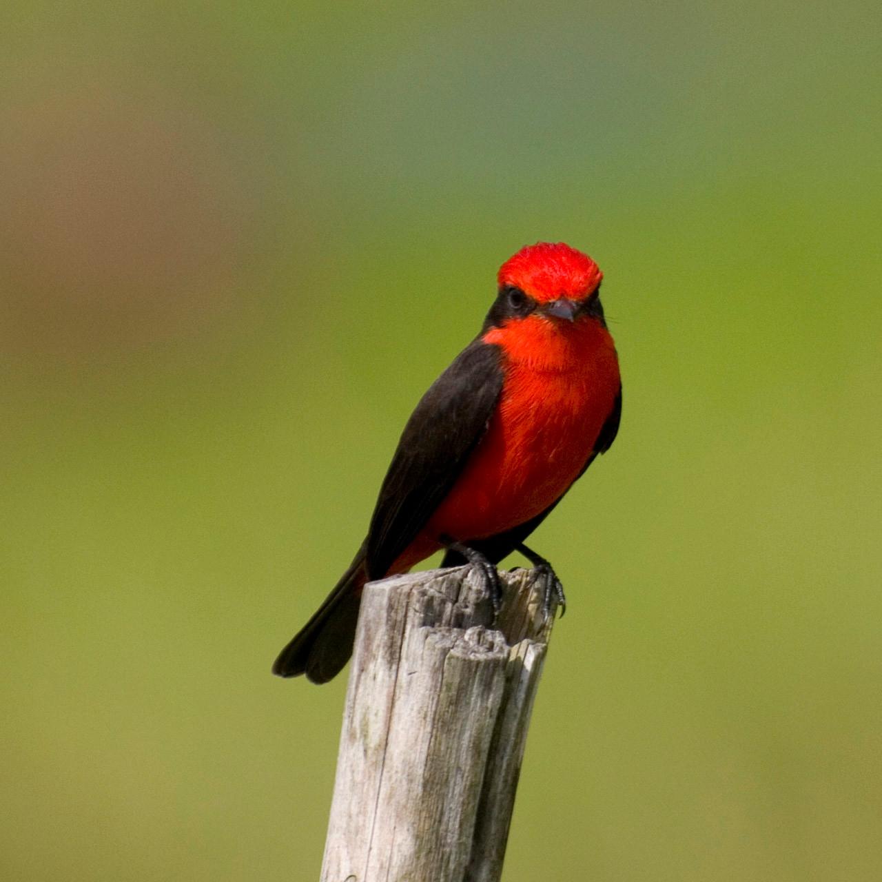 Black-necked red cotinga (Phoenicircus nigricollis) [Venezuela, 2009]