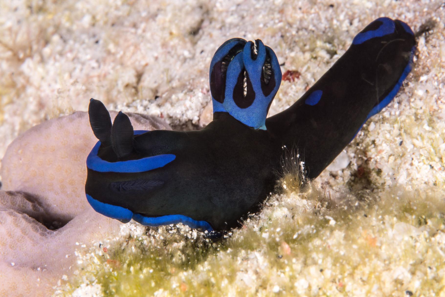 Tambja morosa Nudibranch, Zamami Island