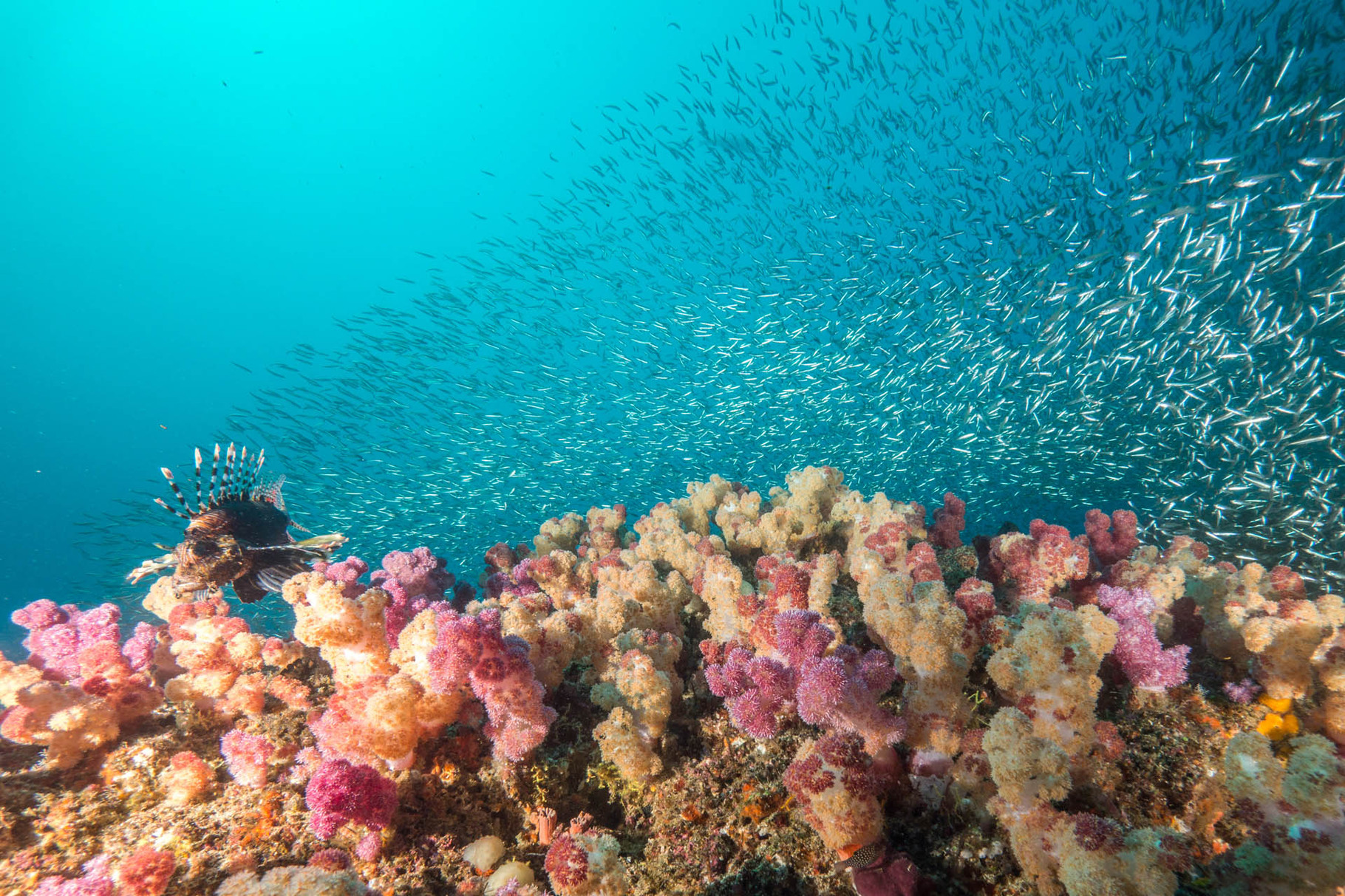 Softcorals, glas fish and hunting lionfishes