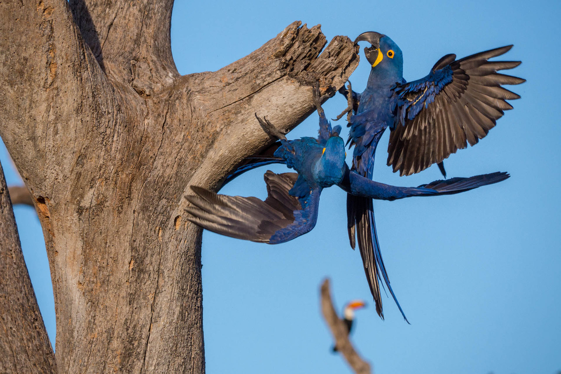 Hyacinth Macaws, Pantanal [Brazil 2014]