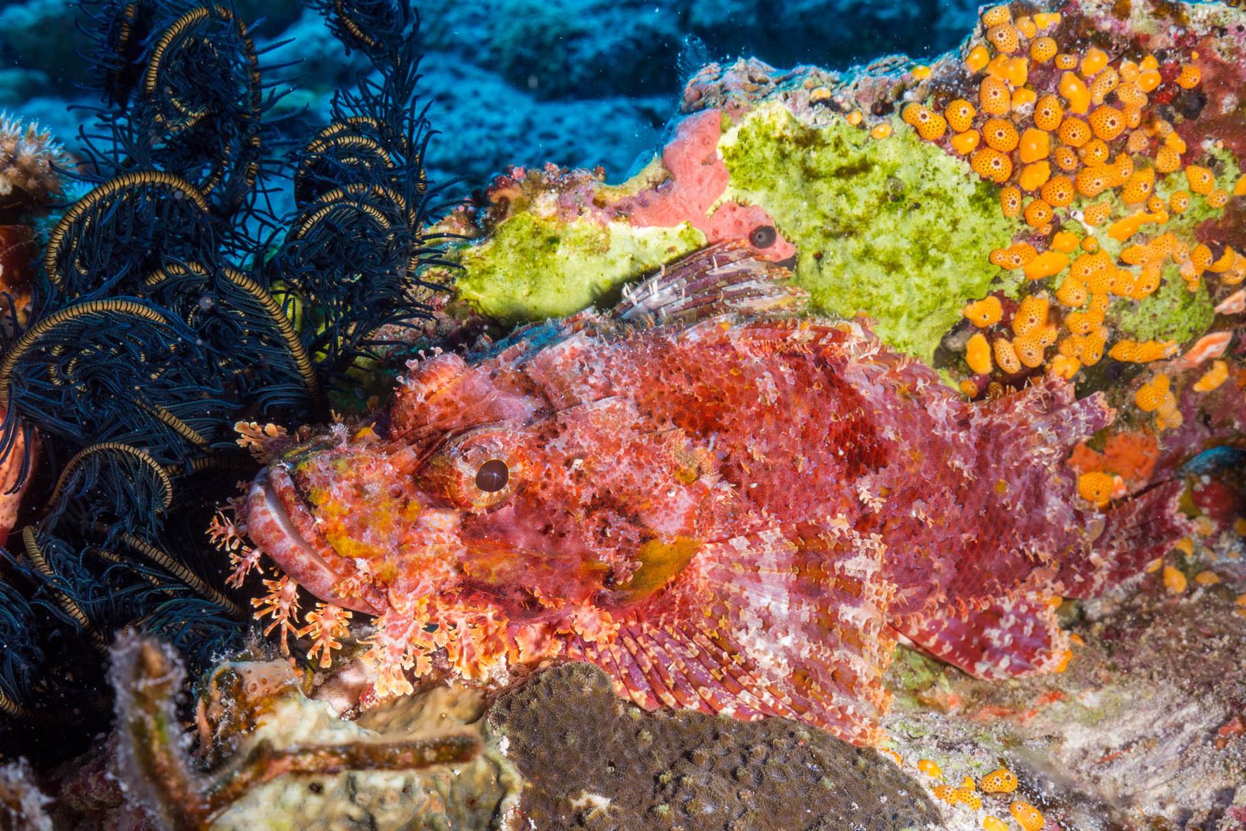 Scorpionfish, Lifou