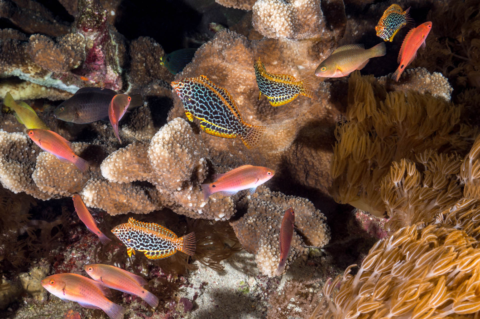 Leopard wrasses - IP (Macropharyngodon meleagris) and anthiases, Green Island