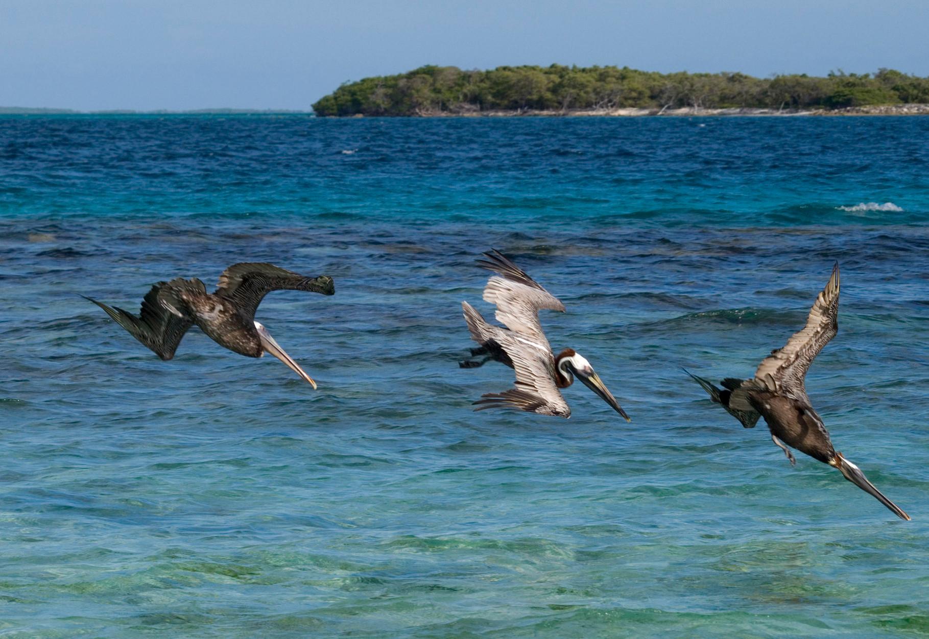 Pelicans [Venezuela, 2009]