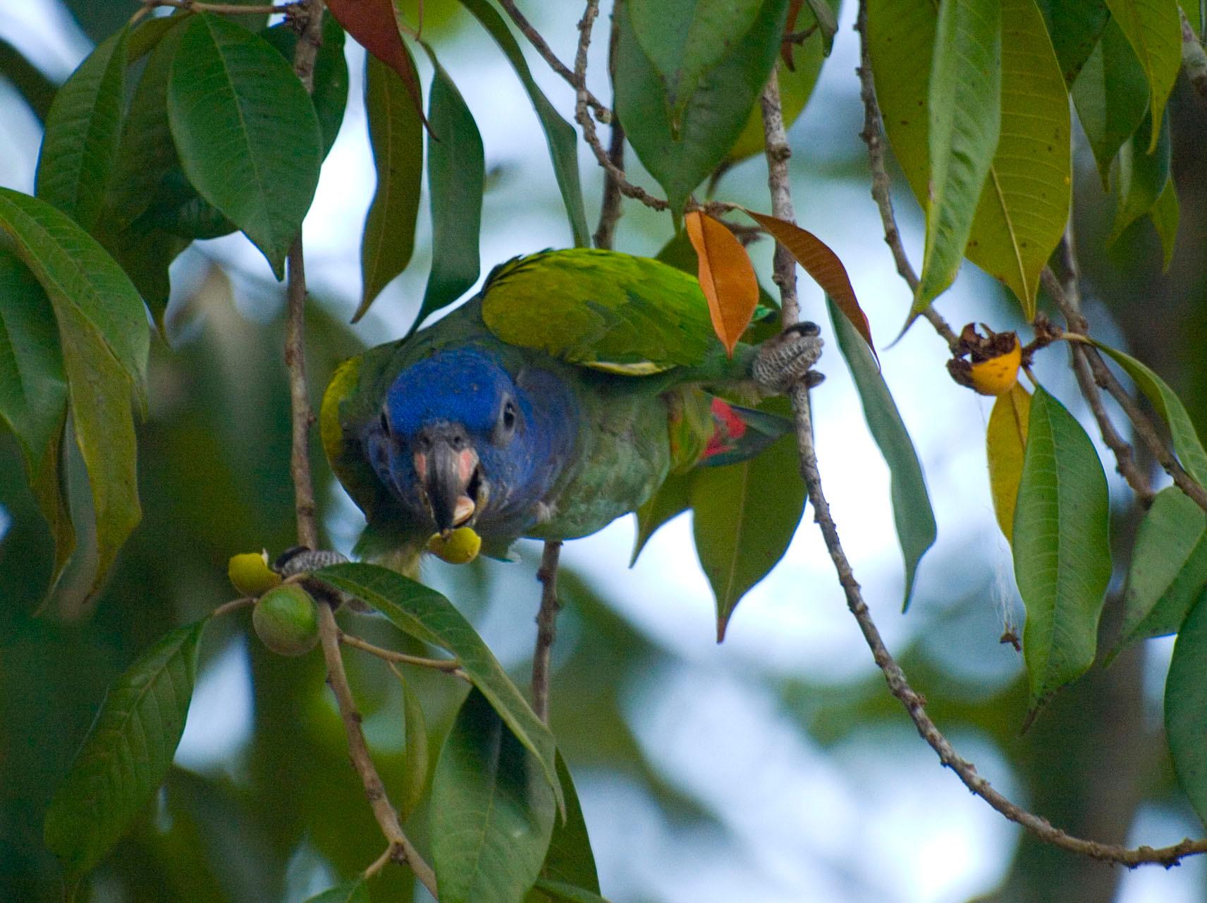 Parrot [Suriname, 2009]
