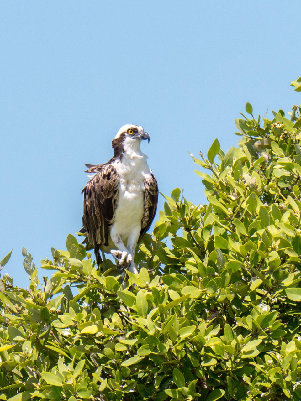 Osprey, Everglades