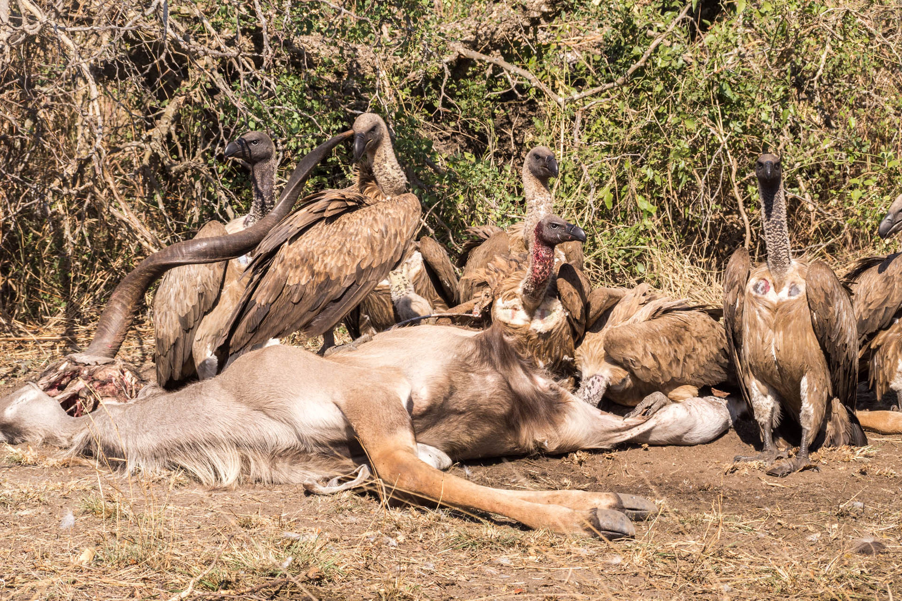 Vulture feasting on a dead male kudu
