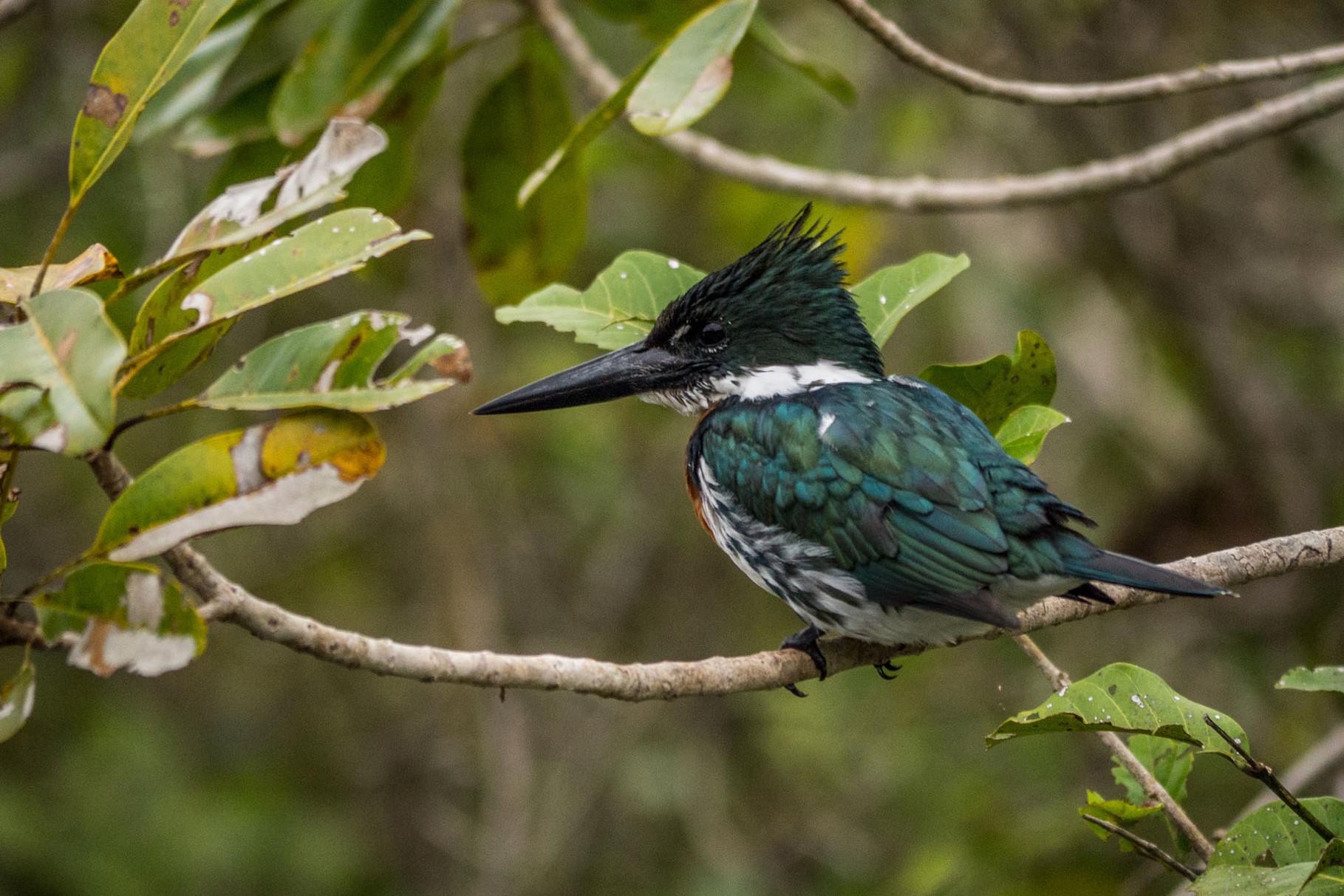 Amazon Kingfisher, Pantanal [Brazil 2014]