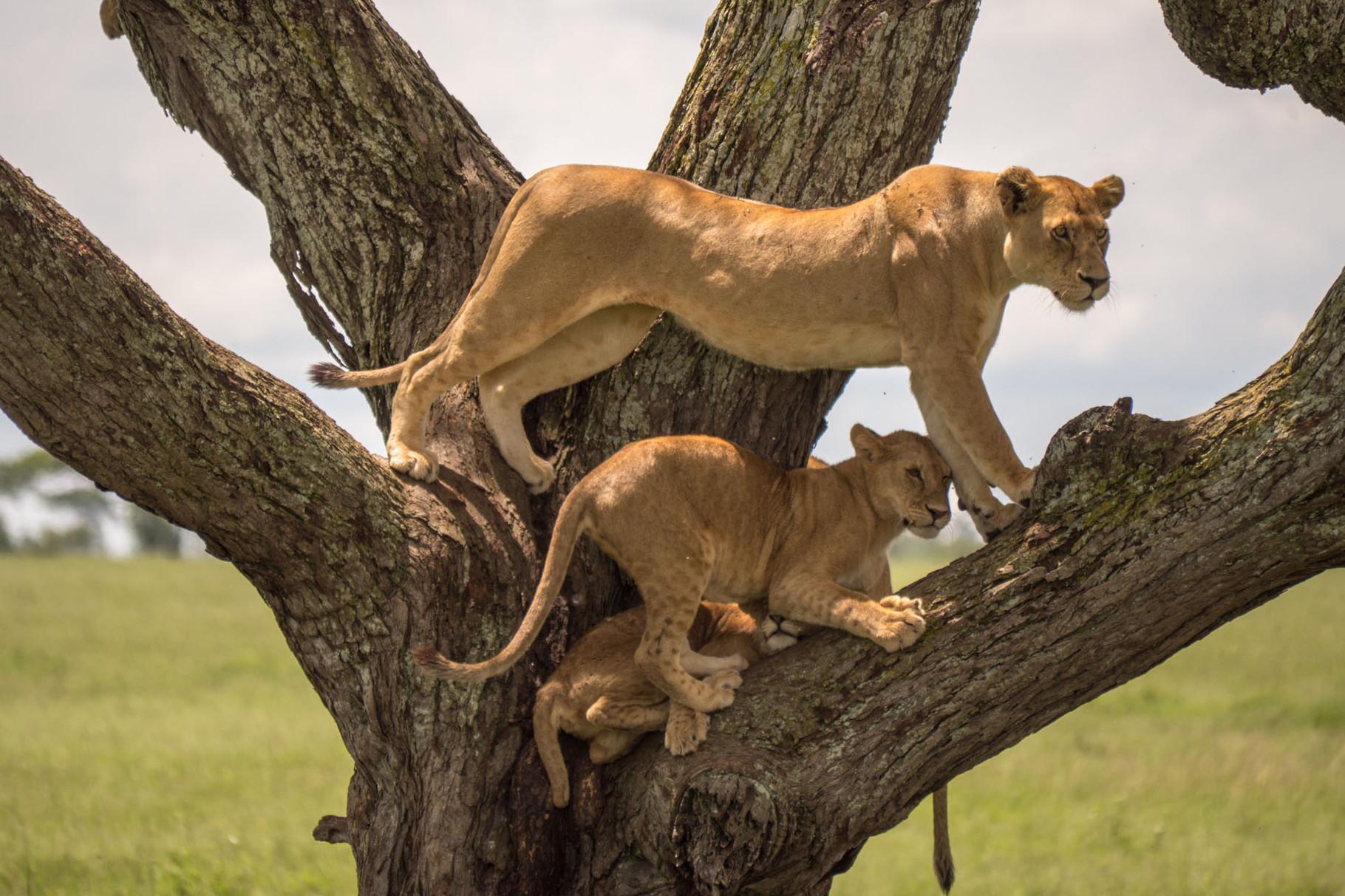 Lions [Serengeti, Tanzania, 2015]