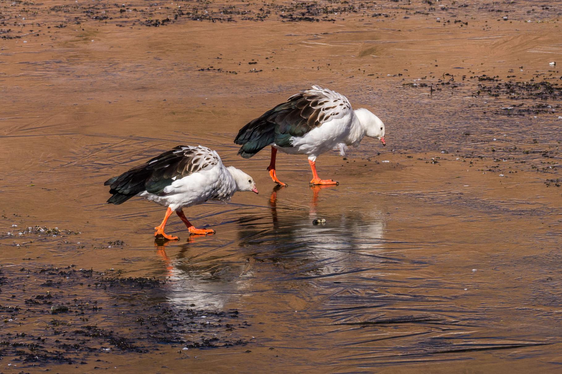Water birds at frozen Rio Putana (around 3.500masl)