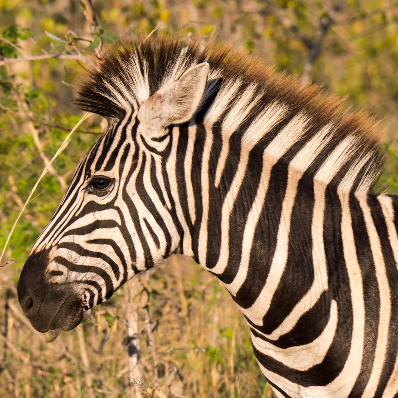 Zebra [Kruger Park, South Africa, 2015]