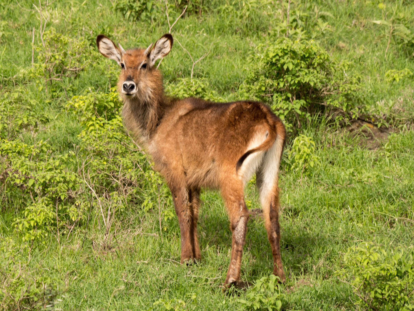 Female waterbuck, Nakuru National park, Kenya