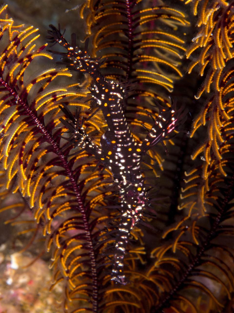 Ornate ghost pipefish (Solenostomus paradoxus)