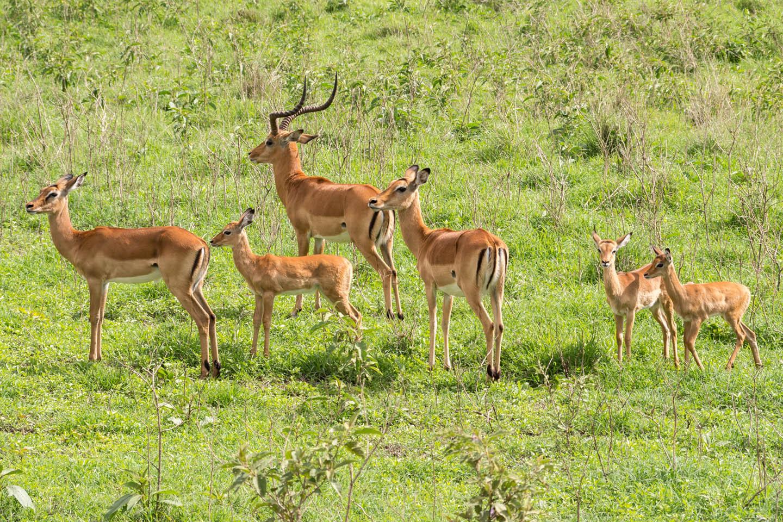 Impalas, Nakuru National park, Kenya