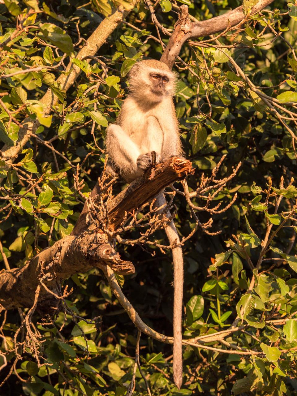 Velvet monkey, Okavango delta