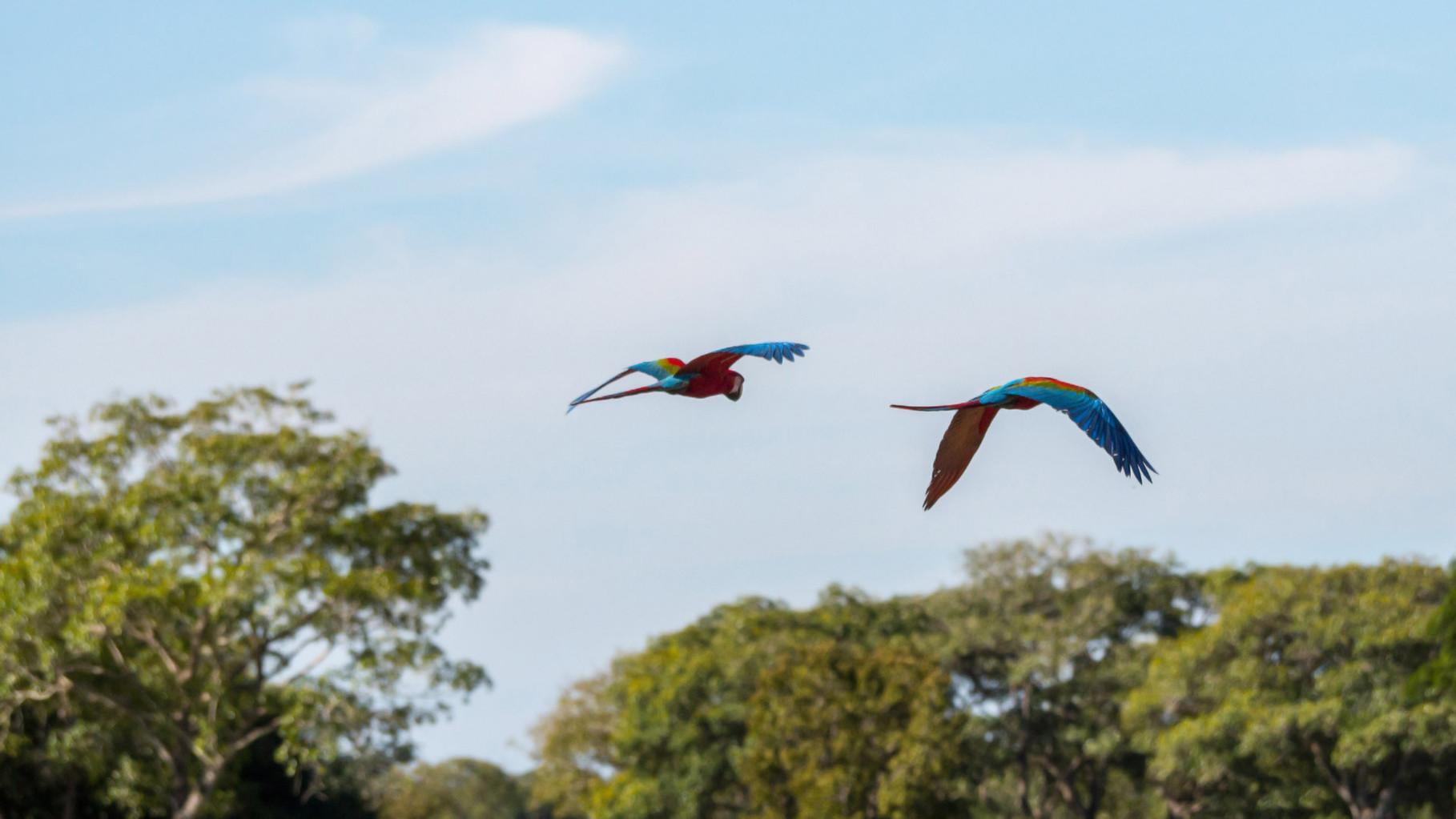 Scarlet Macaws, Pantanal [Brazil 2014]
