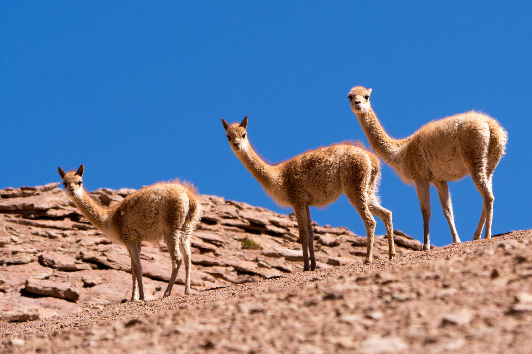 Vicunas in the dessert