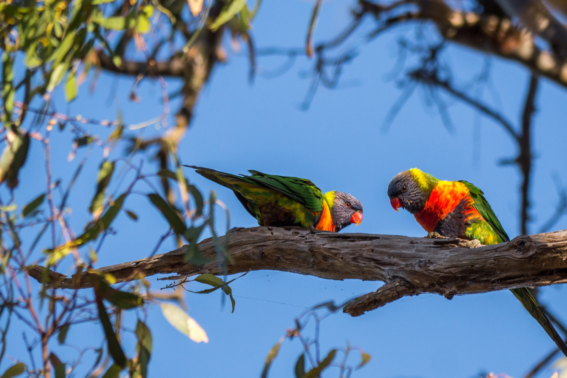 Parakeets at Duck Lagoon, Kangaroo Island