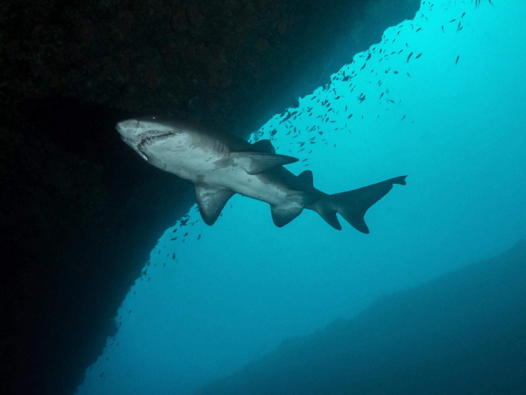 Raggie (Ragged tooth shark or Sandtiger shark)