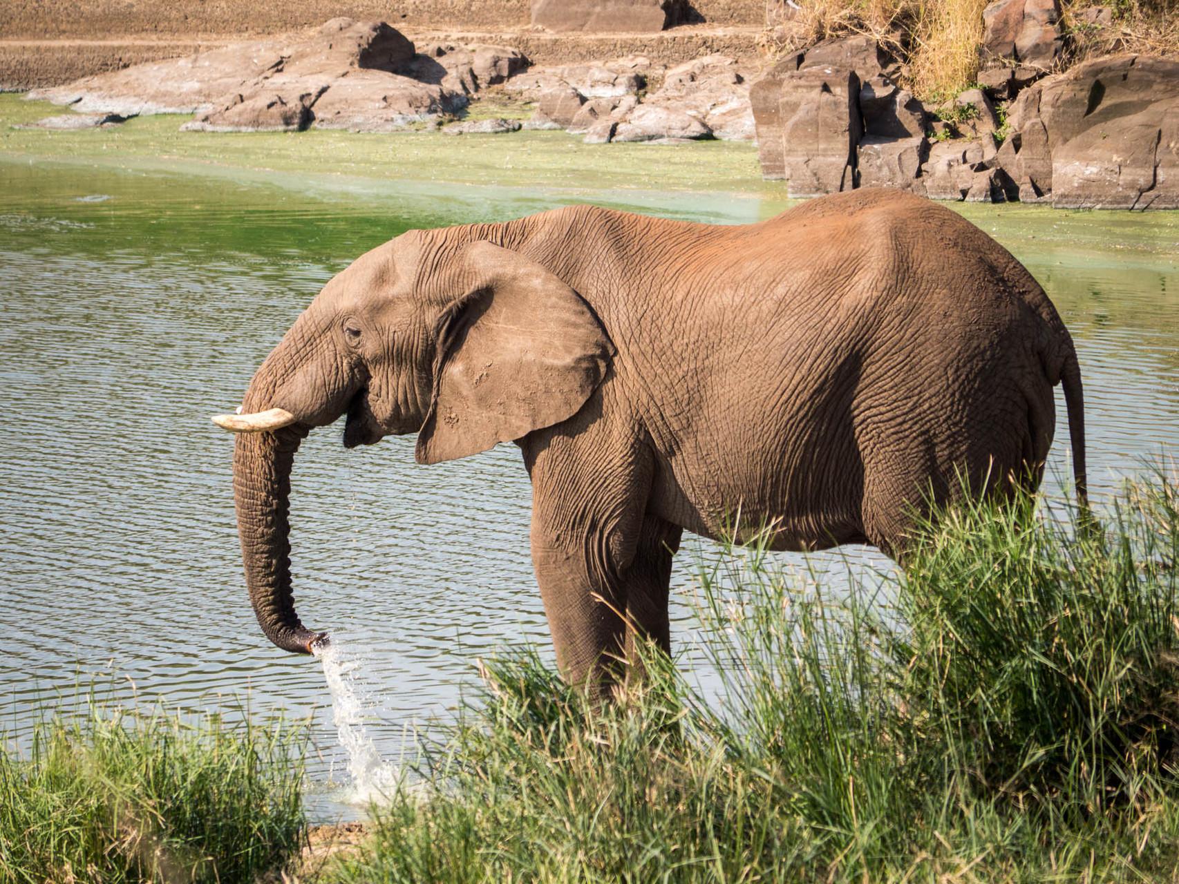 Elefant [Kruger Park, South Africa, 2015]
