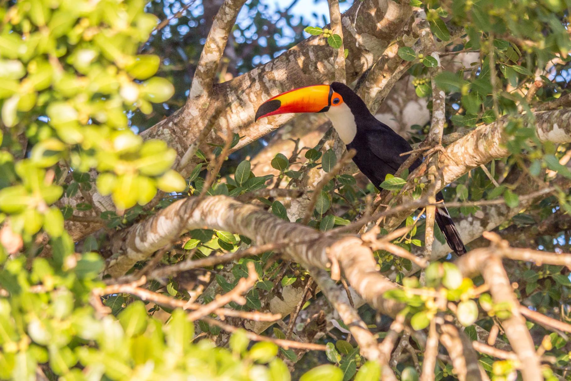 Toco Tucan, Pantanal [Brazil 2014]