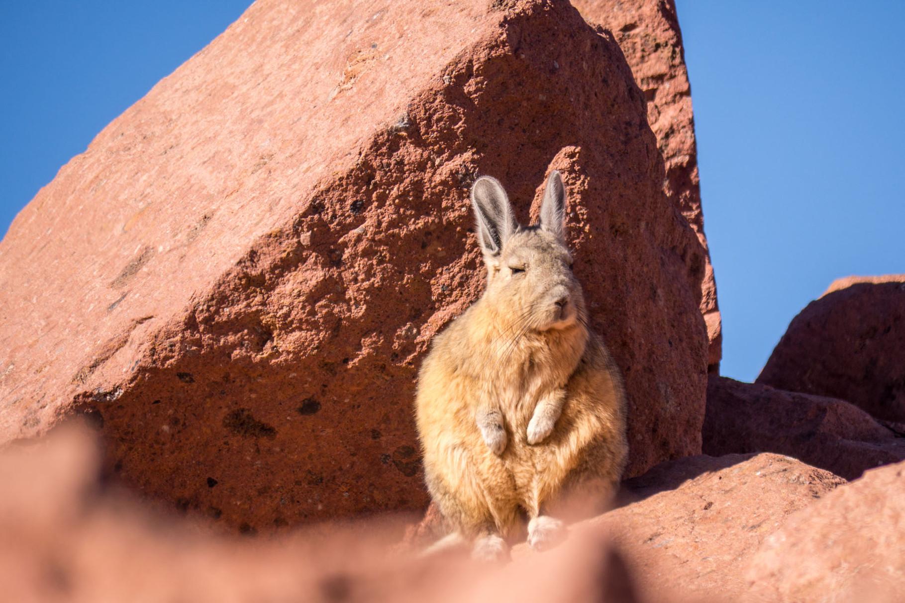 Mountain rabbit, Aguas Calientes, near San Pedro de Atacama, Chile