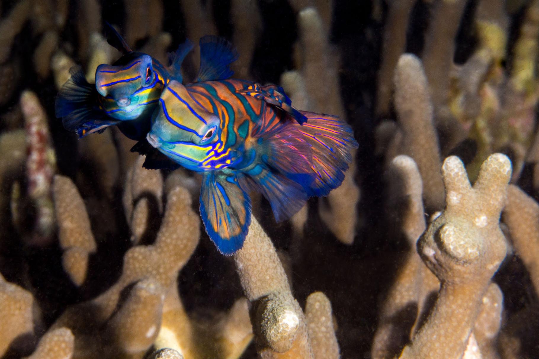 Mating Mandarin fishes
