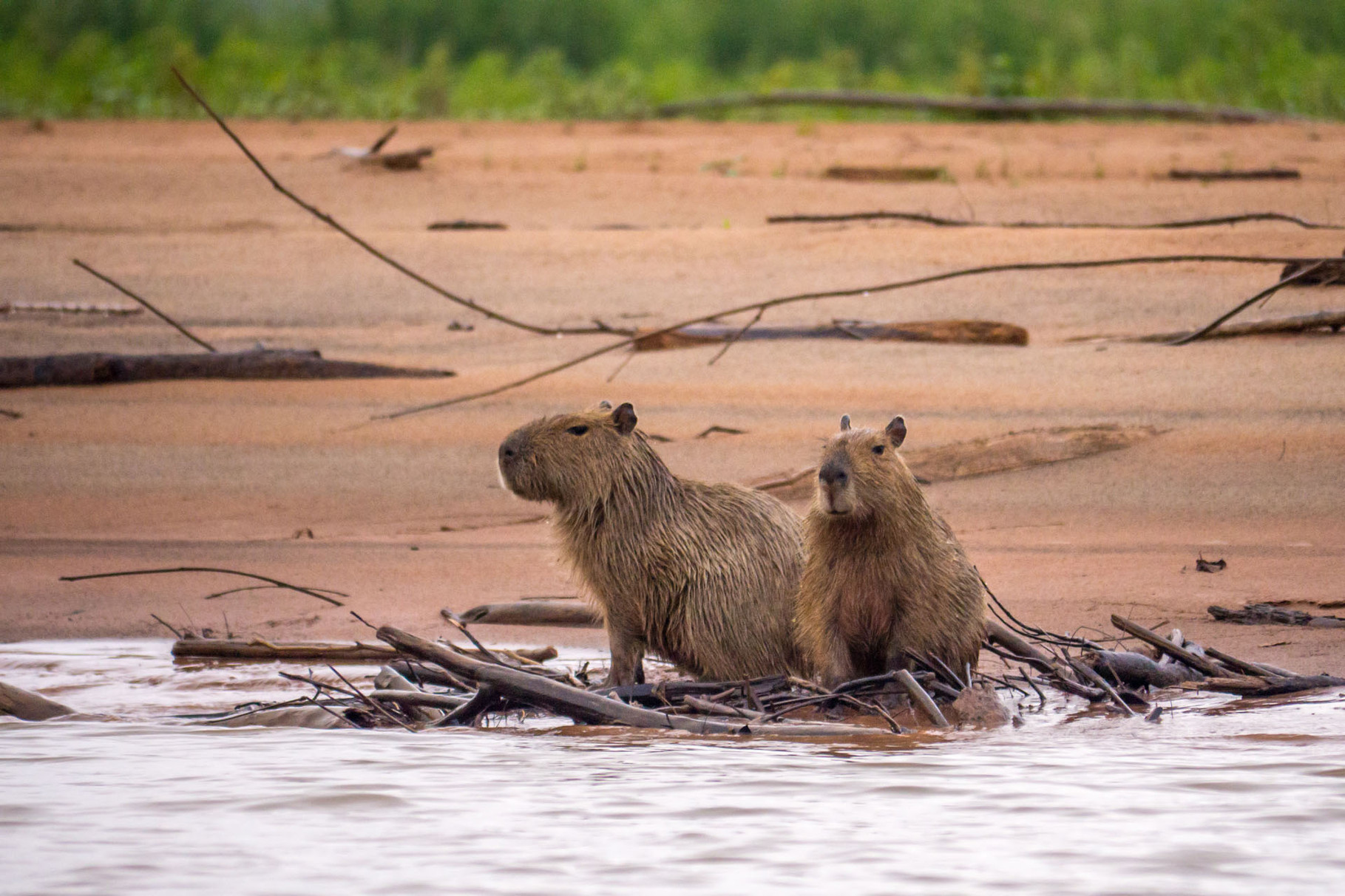 Capybarsas (biggest rodent) at the shore of Rio Tuichi, Madidi Nationalpark