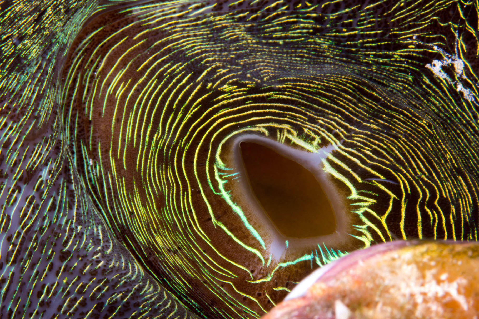 Close up of the mouth of a giant clam, Isle des pines