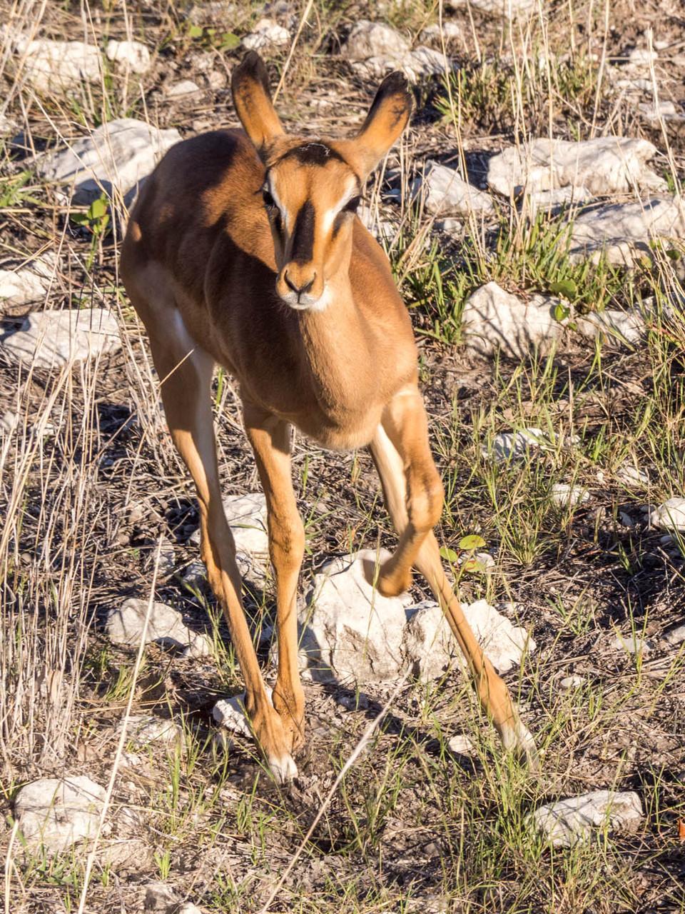 Impala [Etosha Park, Namibia, 2015]