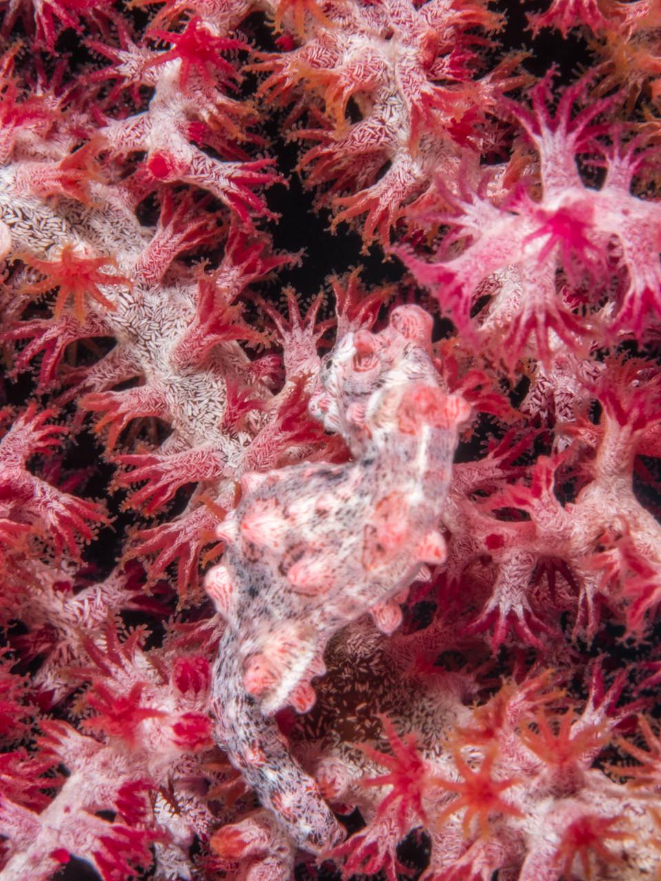 Pygmy seahorse (around 1.5 cm long)