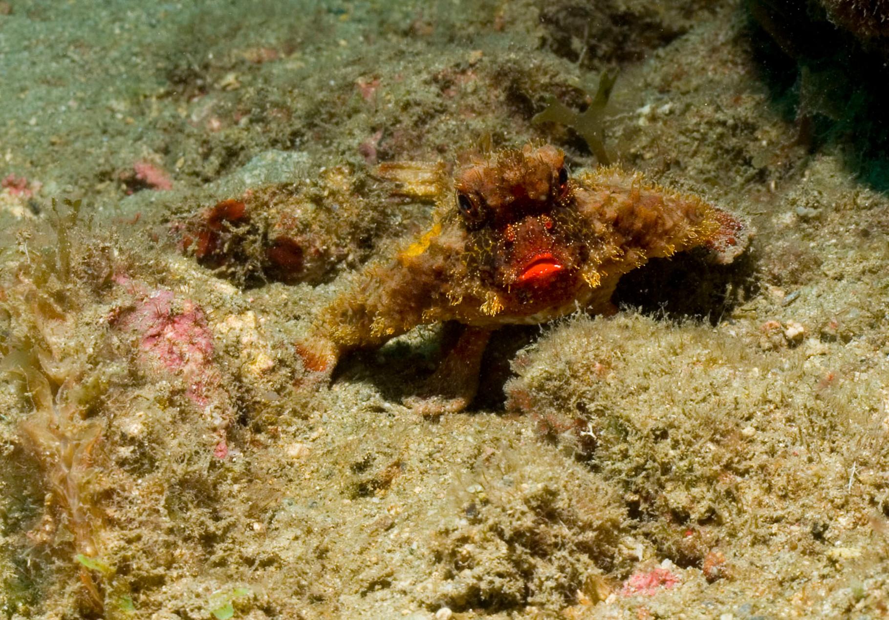 Roughback batfish (Ogcocephalus parvus),Taganga [Colombia, 2009]
