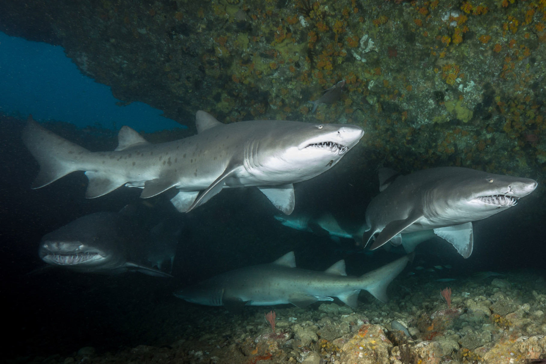 Raggies (Ragged tooth shark or Sandtiger shark)