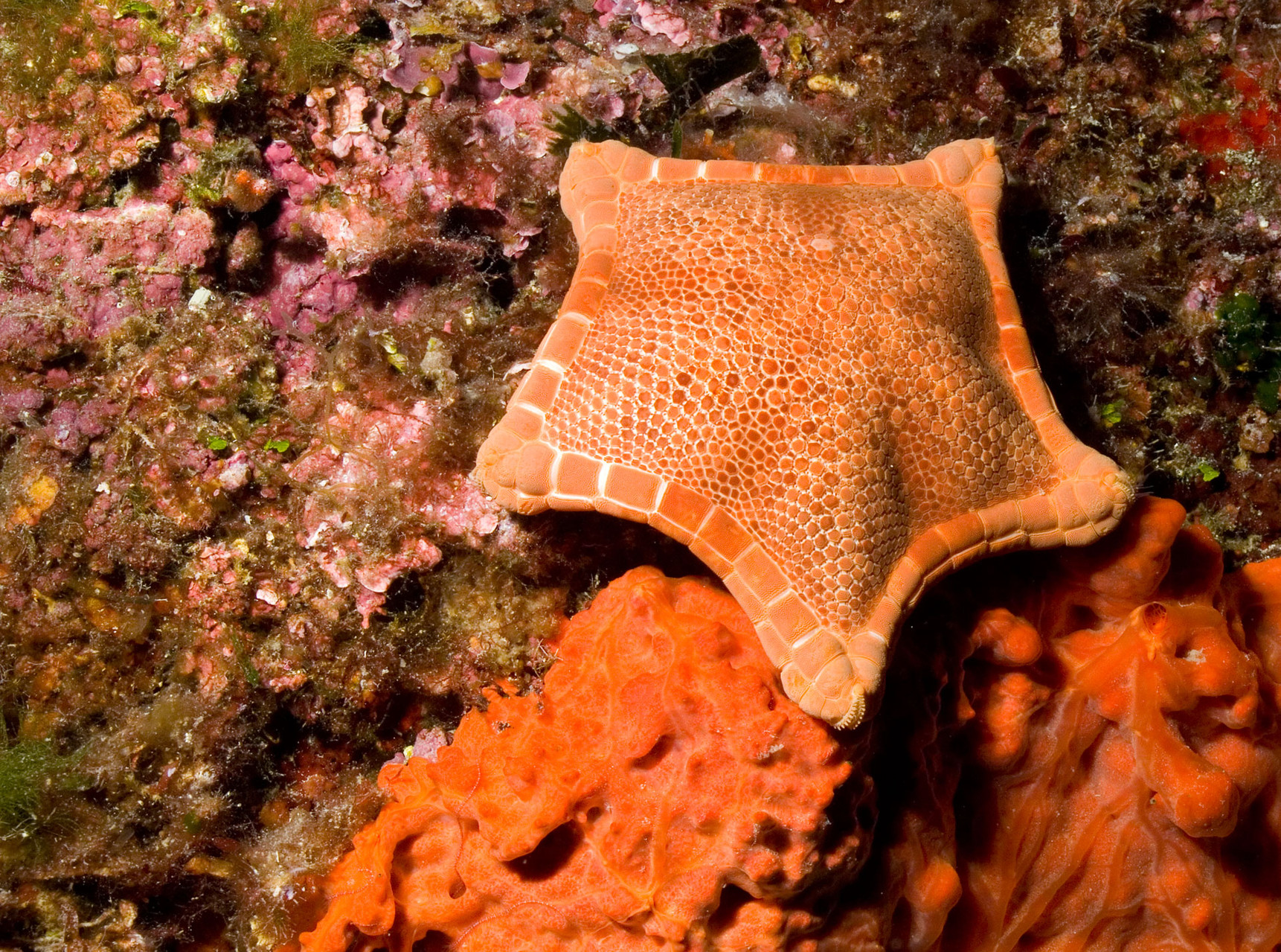 Pillow seastar