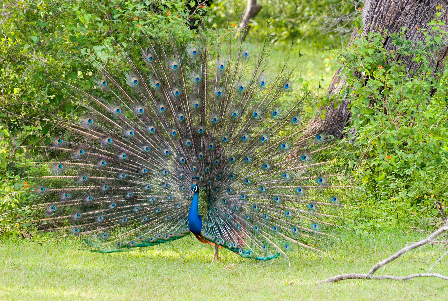 Peacock, Yala Nationalpark