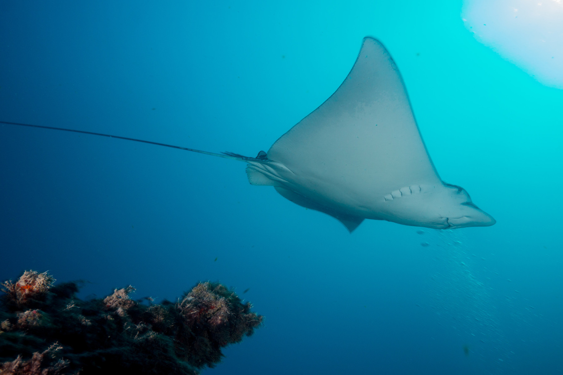"Spotted eagle ray, wreck of the ""Eagle"", Islamorada"