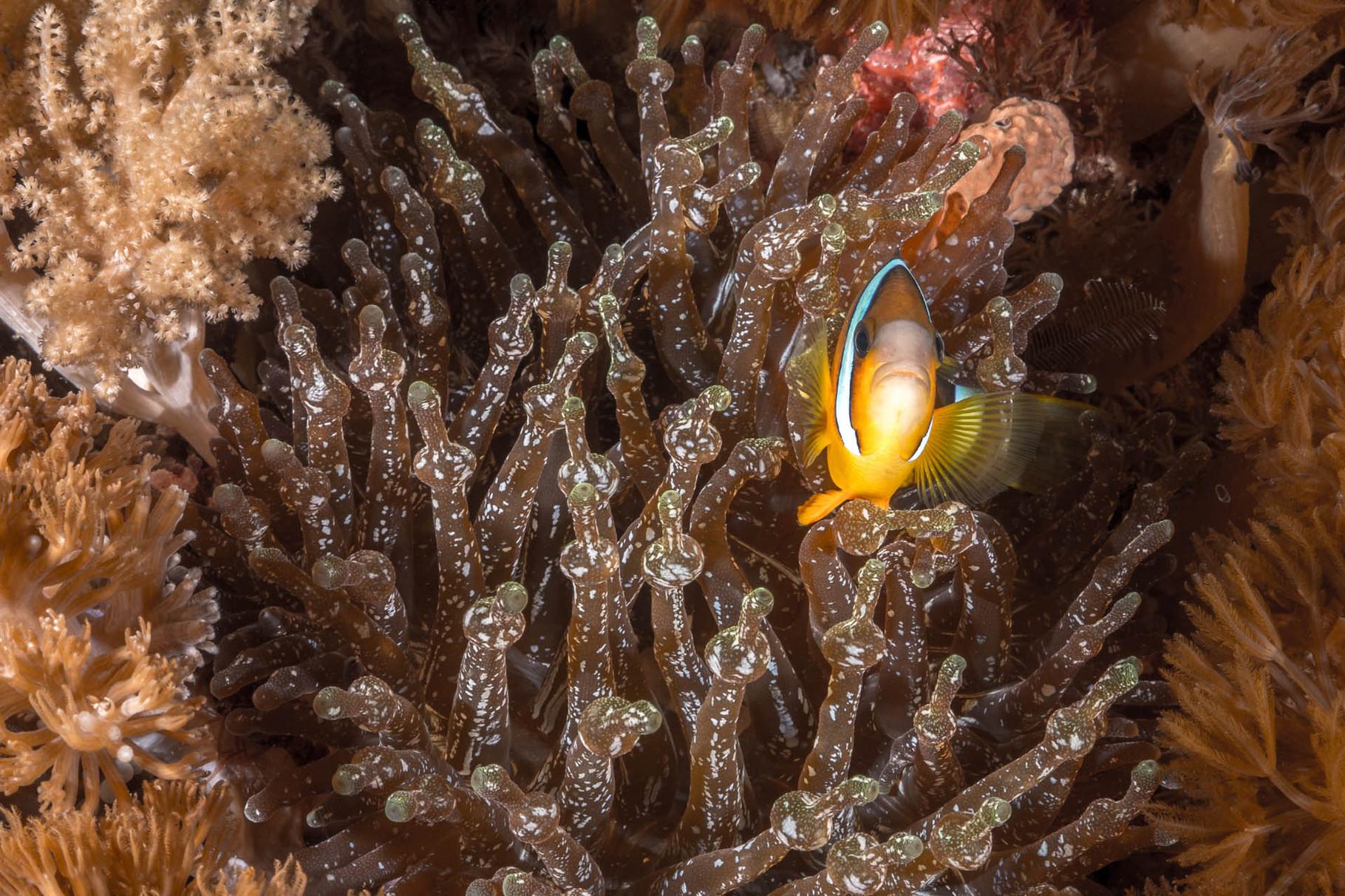 Clark´s anemonefish (Amphiprion clarkii), Green Island