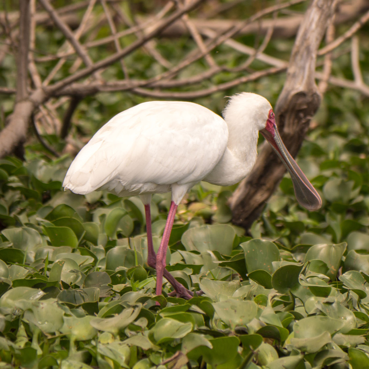 Spoonbill, Lake Naivasha