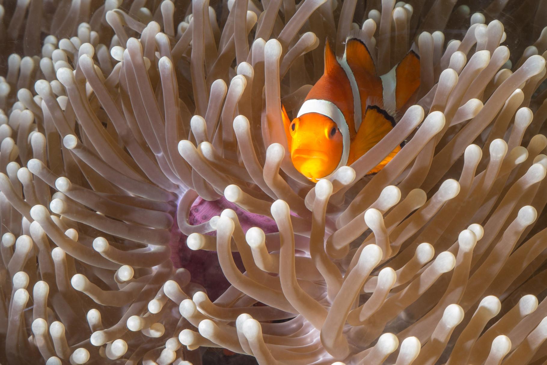 Anemonefish, Coron