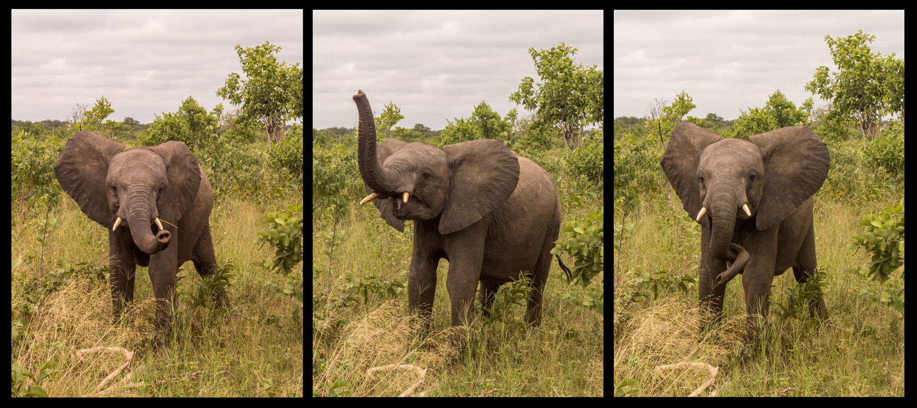 Elefant [Chobe Park, Botswana, 2015]