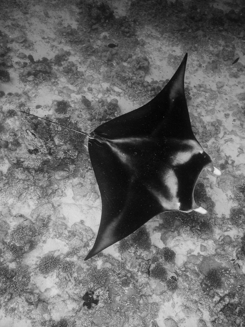 Manta Rays, North Pass, Fakarava