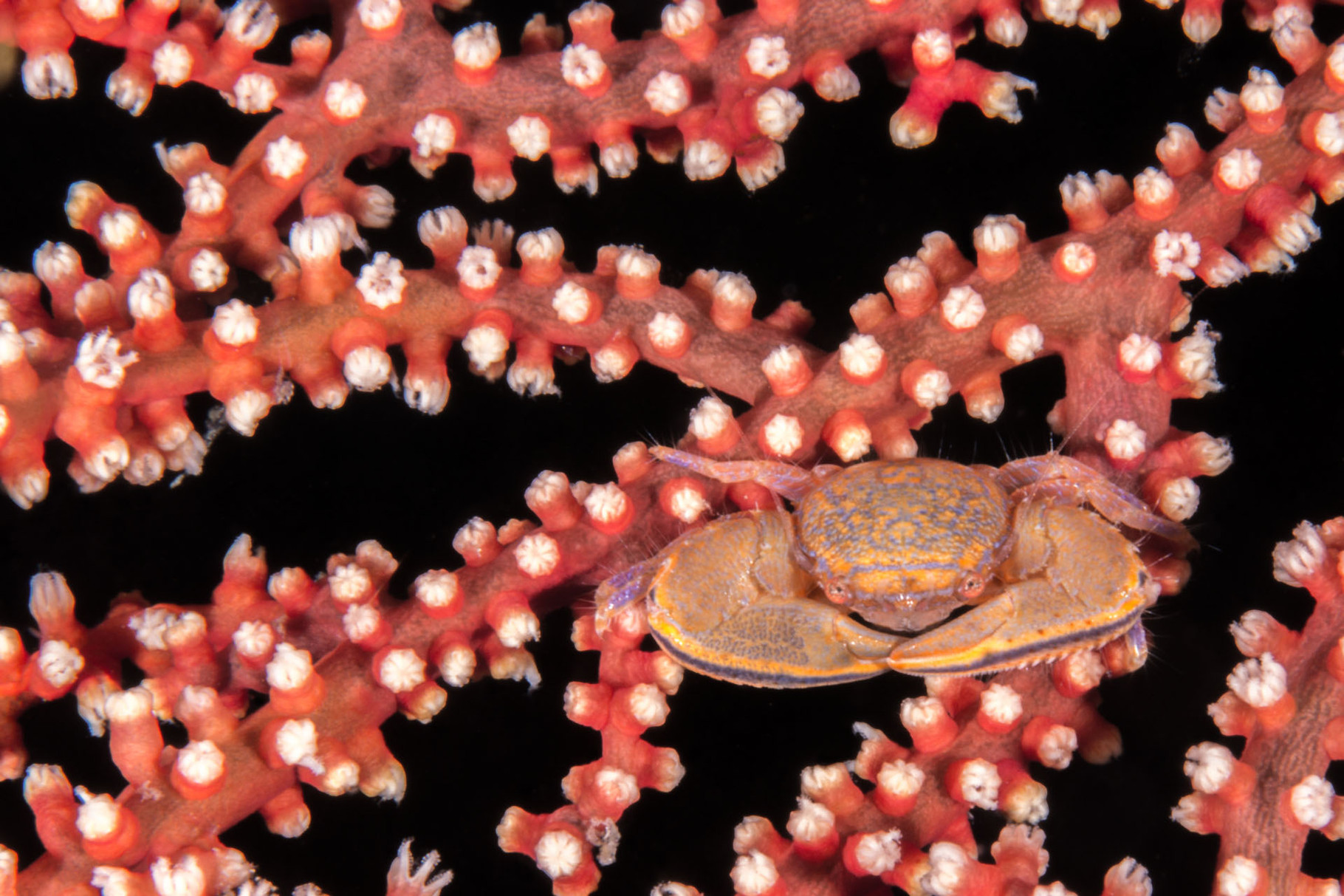 Tiny crab on coral