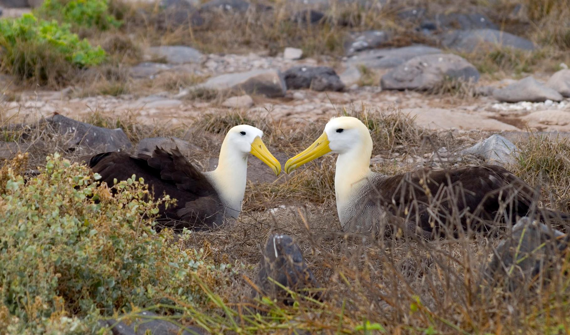 Waved Albatross [Galapagos, Ecuador, 2009]