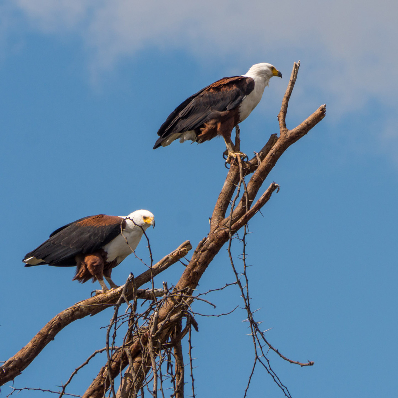 Fish eagles, Lake Naivasha