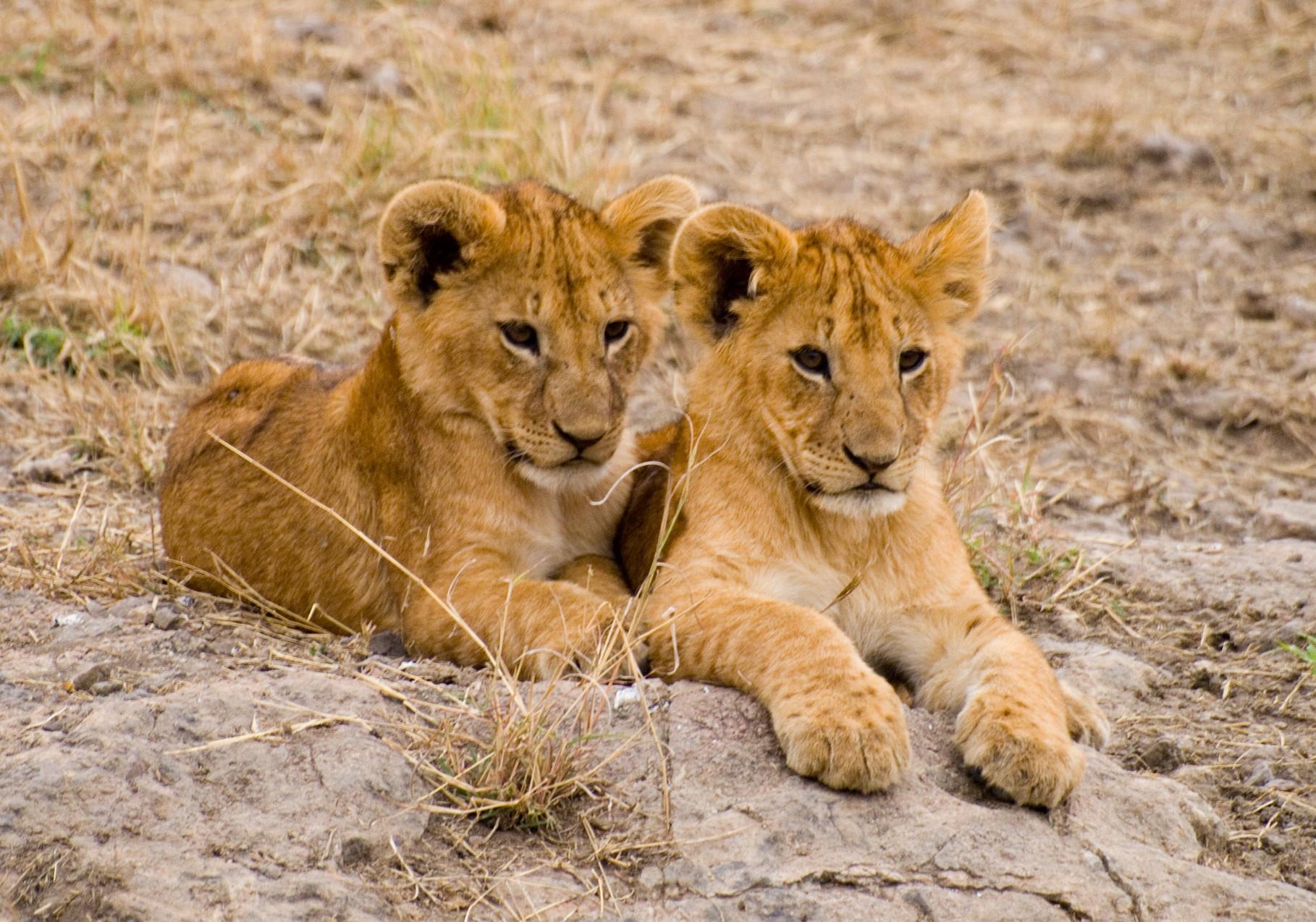 Lions [Serengeti, Tanzania, 2012]